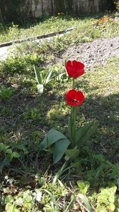 tulipes