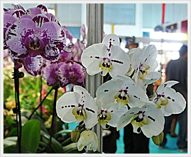ORCHIDEES MAUVES ET BLANCHES MOUCHETEES IIII