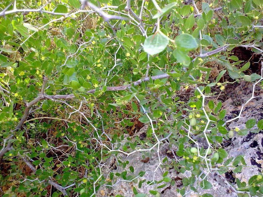 planter un jujubier