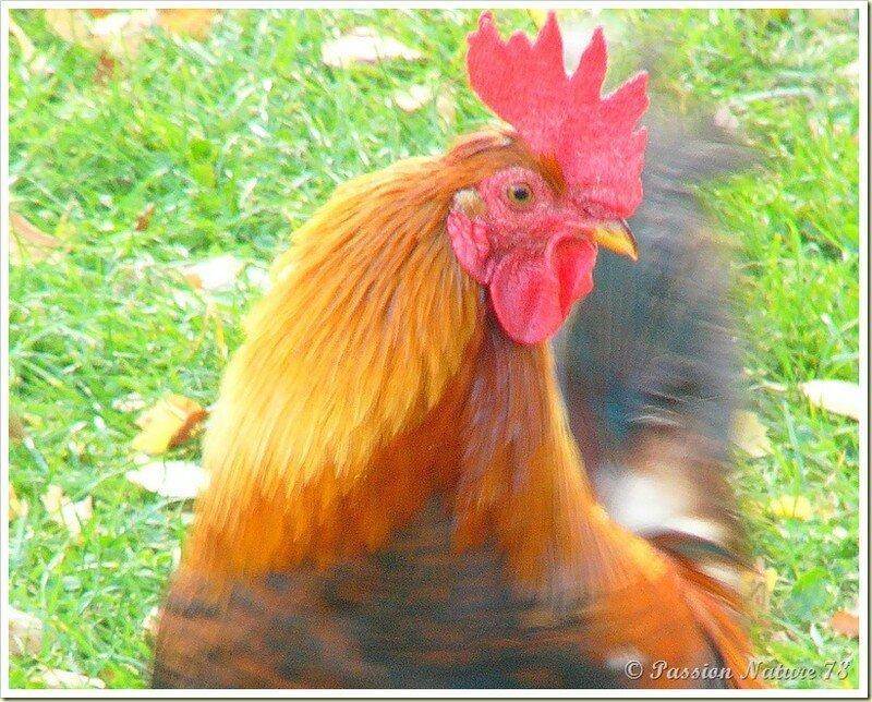 Poules et poulaillers (35)
