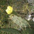 autre fleur de cactus qui pique plus
