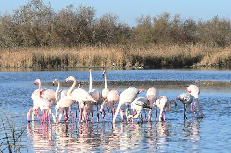 flamand-camargue