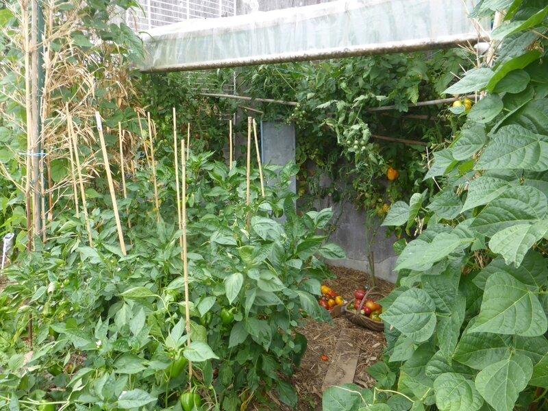 28-potager abri tomates (2)