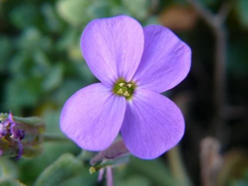 2008 10 14 Une fleur d'aubriète