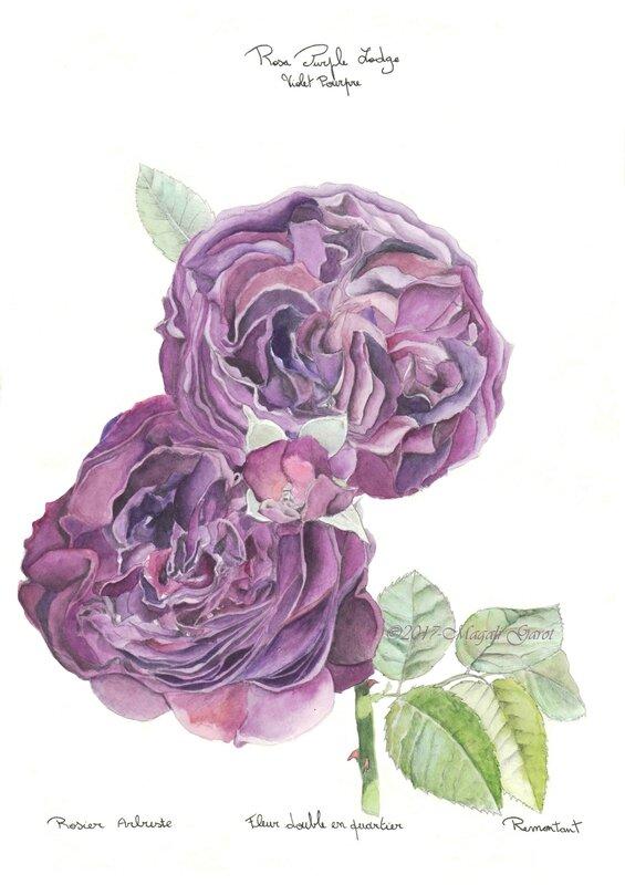 Dessin botanique%2c rosier%2c couleur (légère)