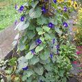 2009 08 25 Ipomée (Volubilis) en fleur contre le tronc du prunier