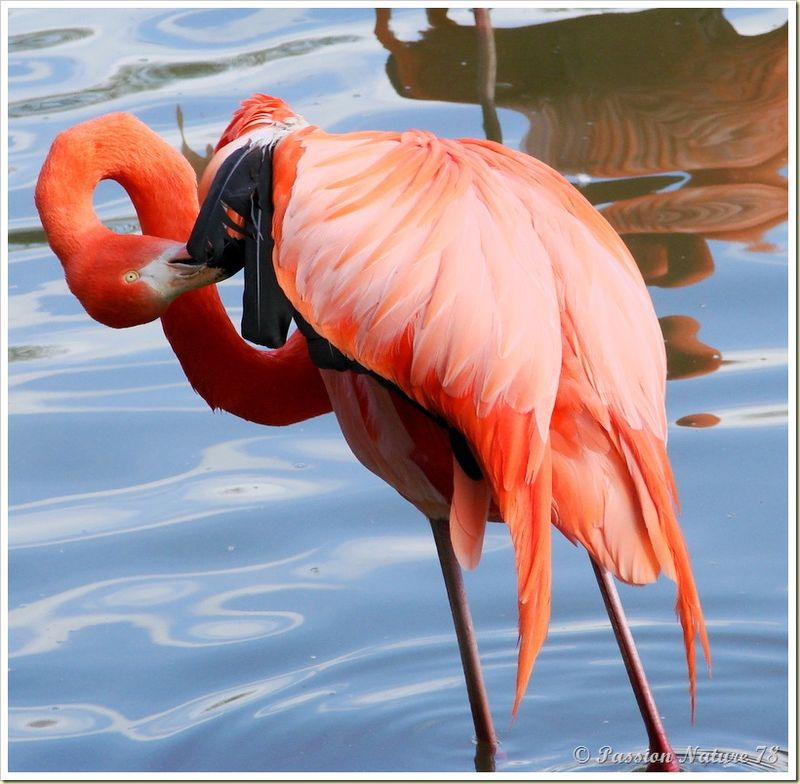 Les flamants roses (26)