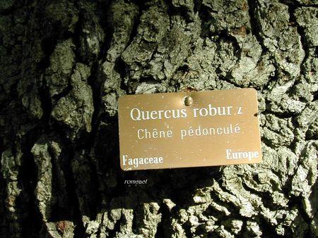 Quercus_robur__3_