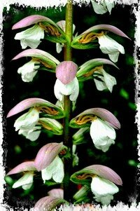 Fleur_acanthe (6)