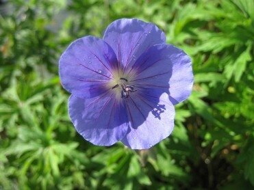 Geranium-x-Johnsons-blue-3