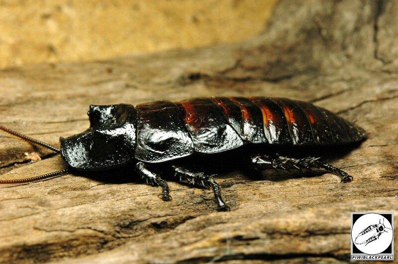 Gromphadorhina grandidieri mâle 02