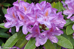 rhododendron_Pessac_3