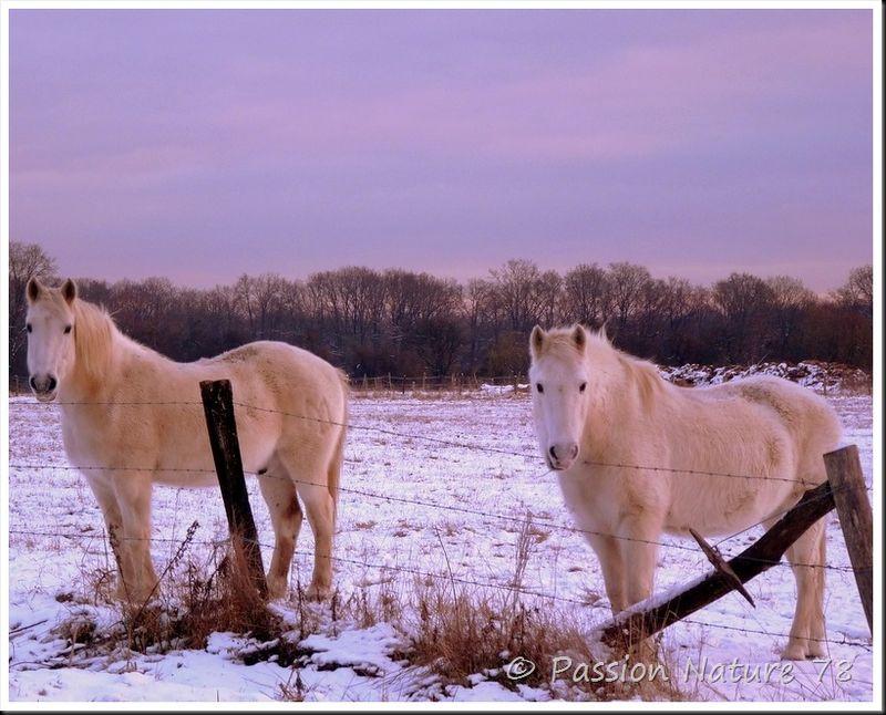 Chevaux dans la neige (3)