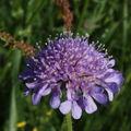 2009 05 29 Une fleur de scabieuse