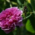 Rose froufrous_13 27 05_3513
