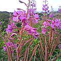fleurs d'Ecosse