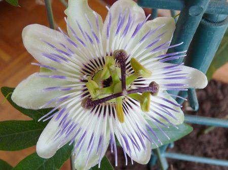 2009_07_10___passiflora__7_