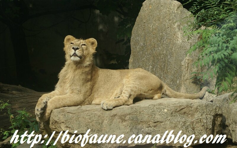 LIONCEAU ASIATIQUE AU ZOO DE MULHOUSE