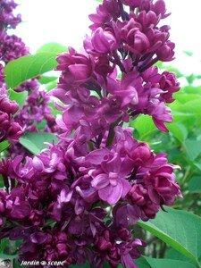 Lilas_fleurs_lilas