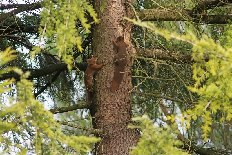 écureuils 2 arbre matin 060118 7