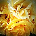 IMG_0593R1_Coloma rose