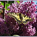 Lilas et Machaon 2204155