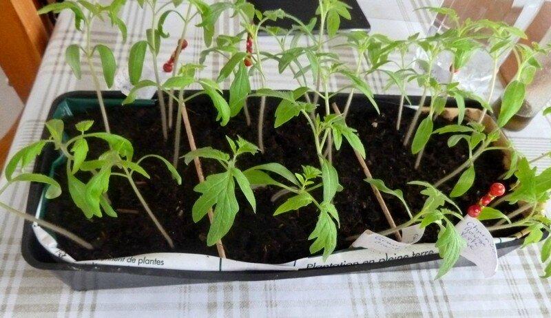 semis à repiquer