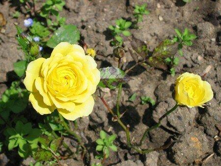 2_roses_jaunes