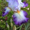 z iris du jardin