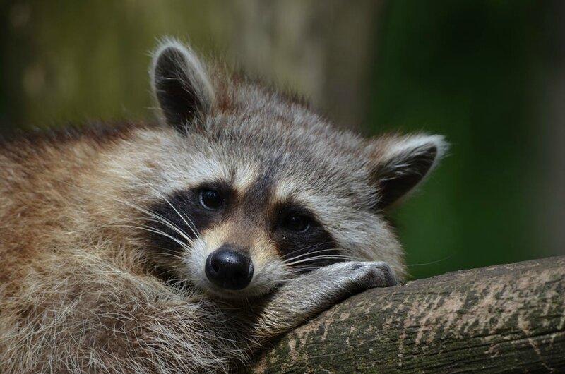 raccoon-bear-zoo-saeugentier-54602