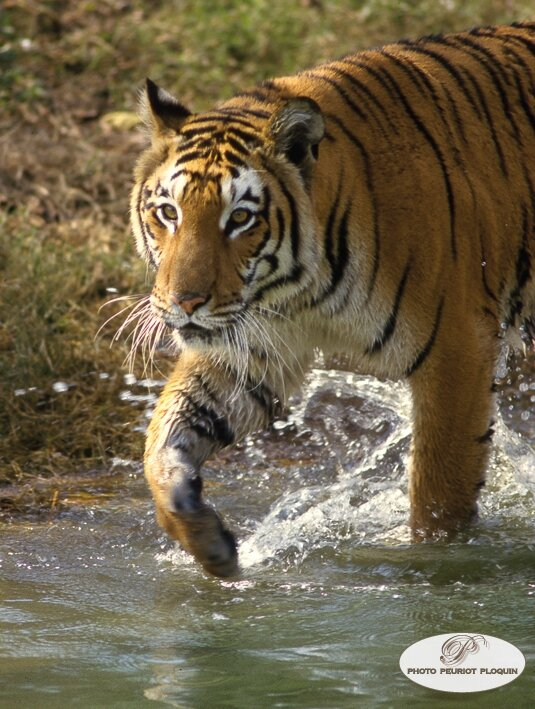Rencontre avec les tigres thailande