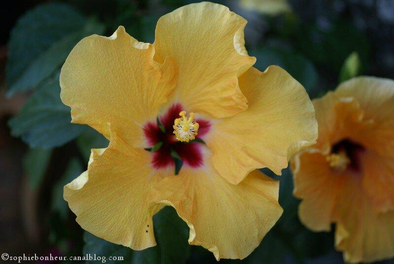 MM hibiscus