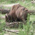 USA, Bison