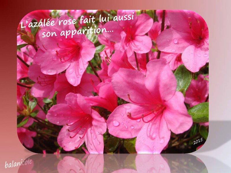 balanicole_2015_mai_10_azalee rose