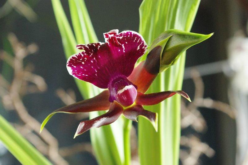 orchidée4