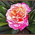 Rose orange 1305152