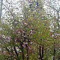 - mon cerisier du japon a froid -