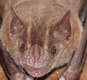 chauve souris