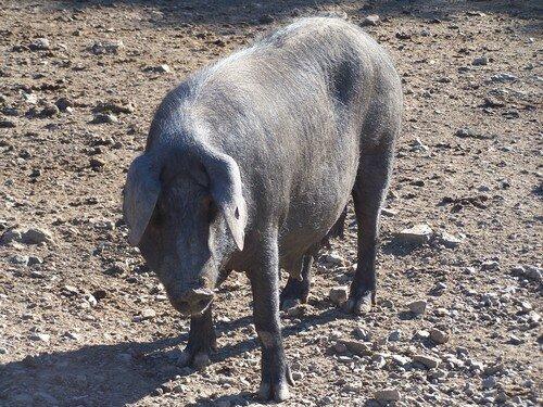 Jabugo-cochon patanegra