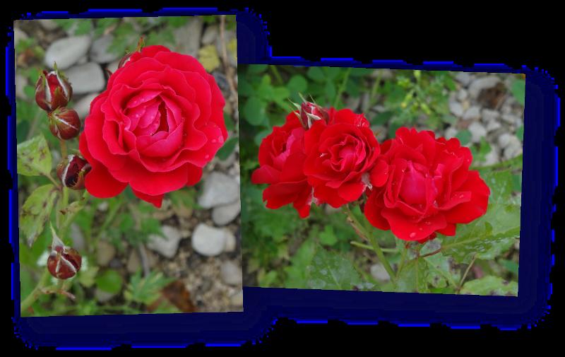 rosier magie du parfum