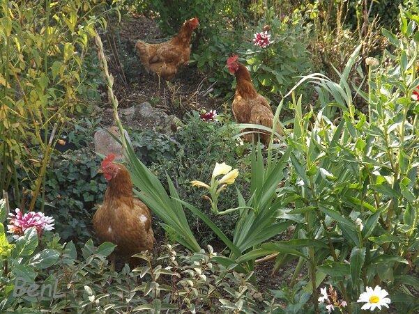 poulettes (1)