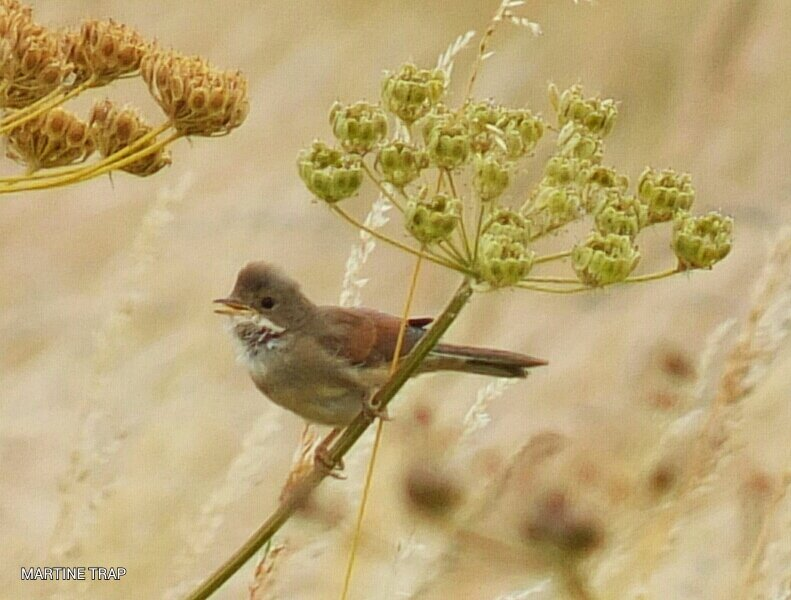 Fauvette grisette, Common Whitethroated, Dorn Grasmücke, Sterpazzola