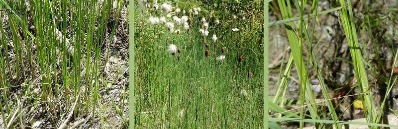 tige grêle raide feuille radicale très étroites f de la tige florale plus large