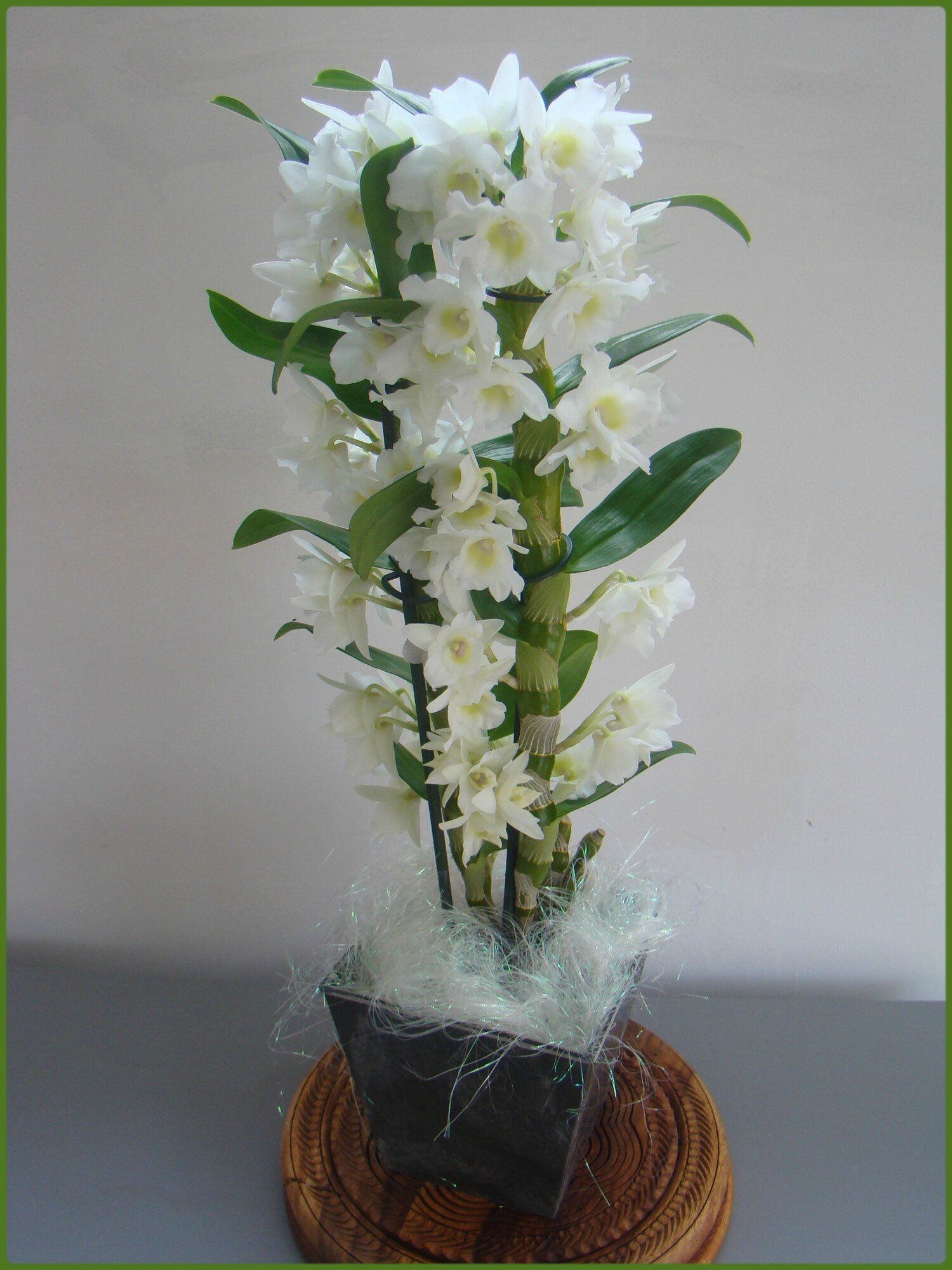 Orchid e dendrobium nobile miss gleni and co Comment entretenir orchidee