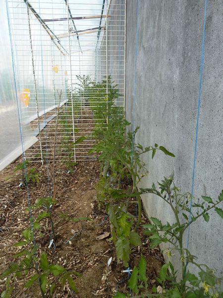 29 - tomates jardin ouest (1)