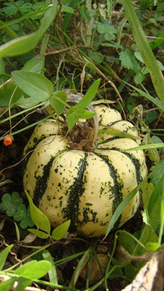 courge_patidou