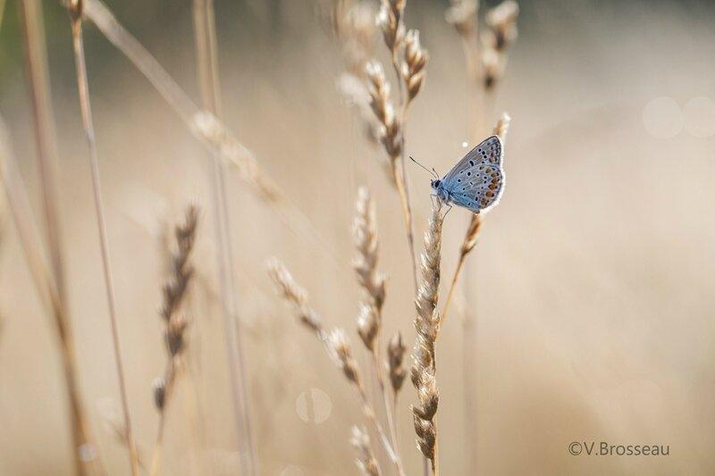 papillon-azuré-15-01
