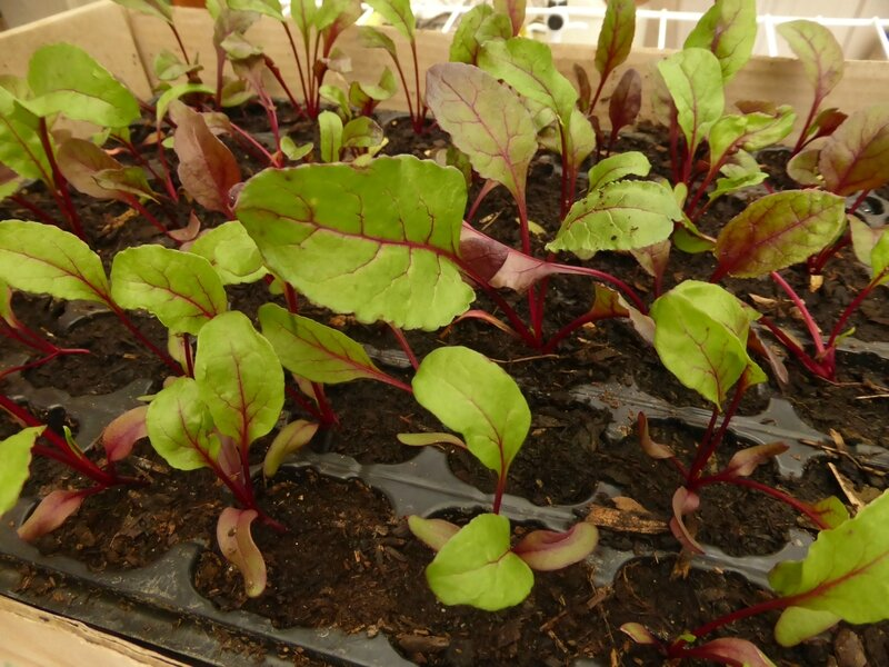 4-betteraves