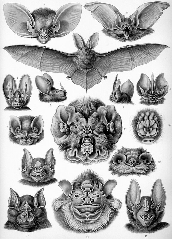 Chiroptera - Illustration de Ernst Haeckel 1904