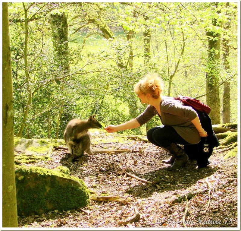 wallabies de la forêt de Rambouillet (31)